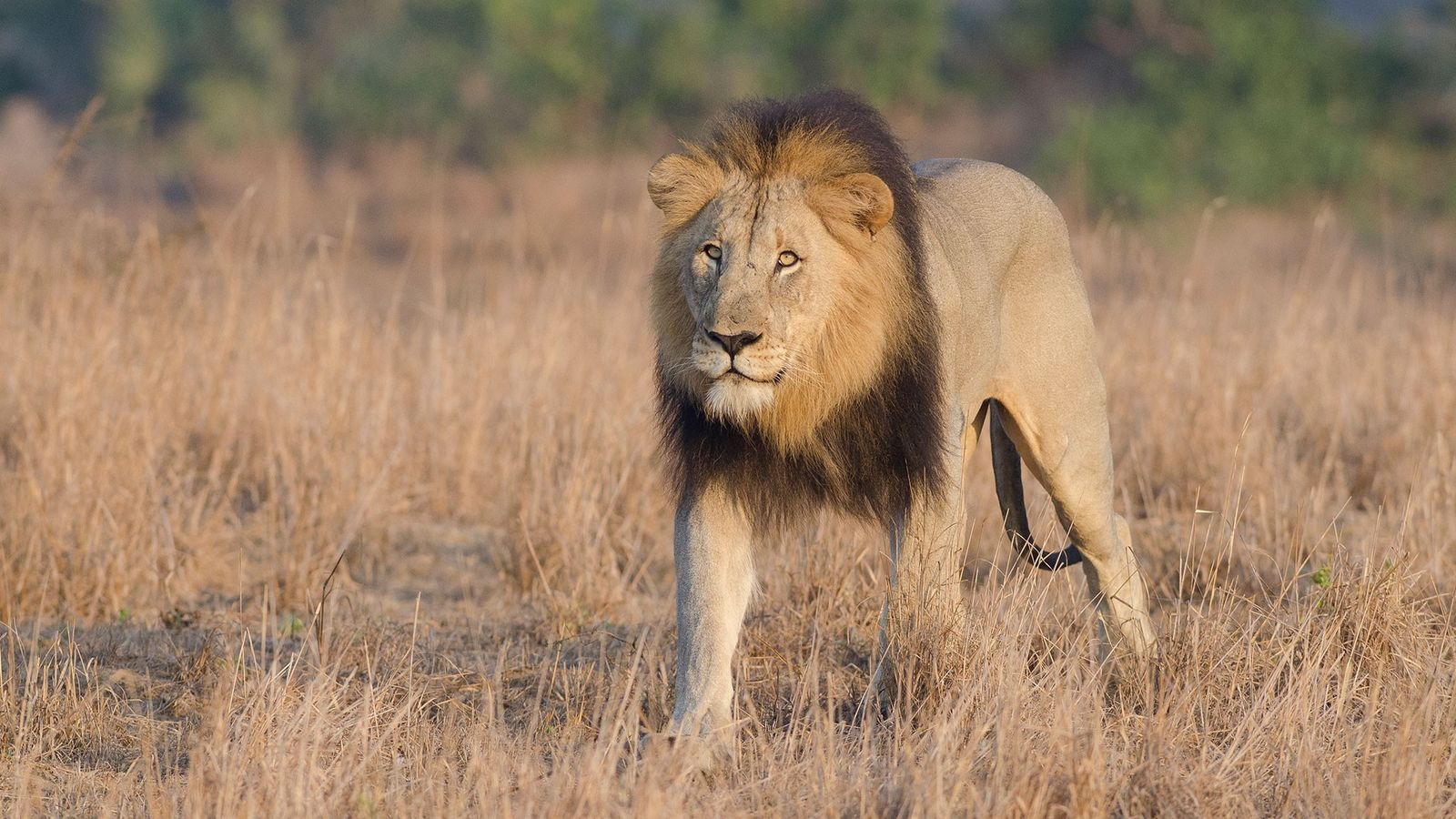 This male lion was photographed in a game reserve in South Africa. Another reserve was the ...
