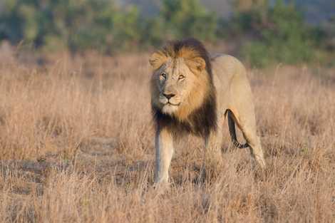 3 Alleged Rhino Poachers Eaten by Lions