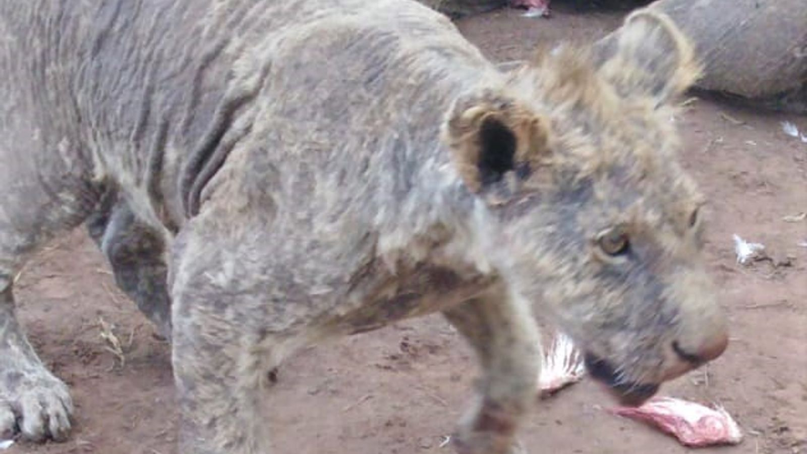 Of 108 lions held in Pienika Farm, a captive-breeding facility in South Africa, 27 were found ...