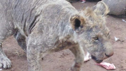 More than 100 neglected lions discovered in South Africa breeding facility