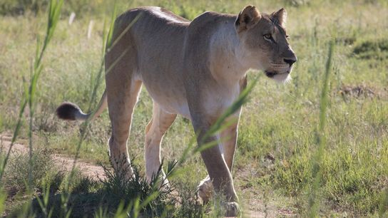 A lion walks on the private Dinokeng Big 5 Game Reserve in South Africa, where a ...