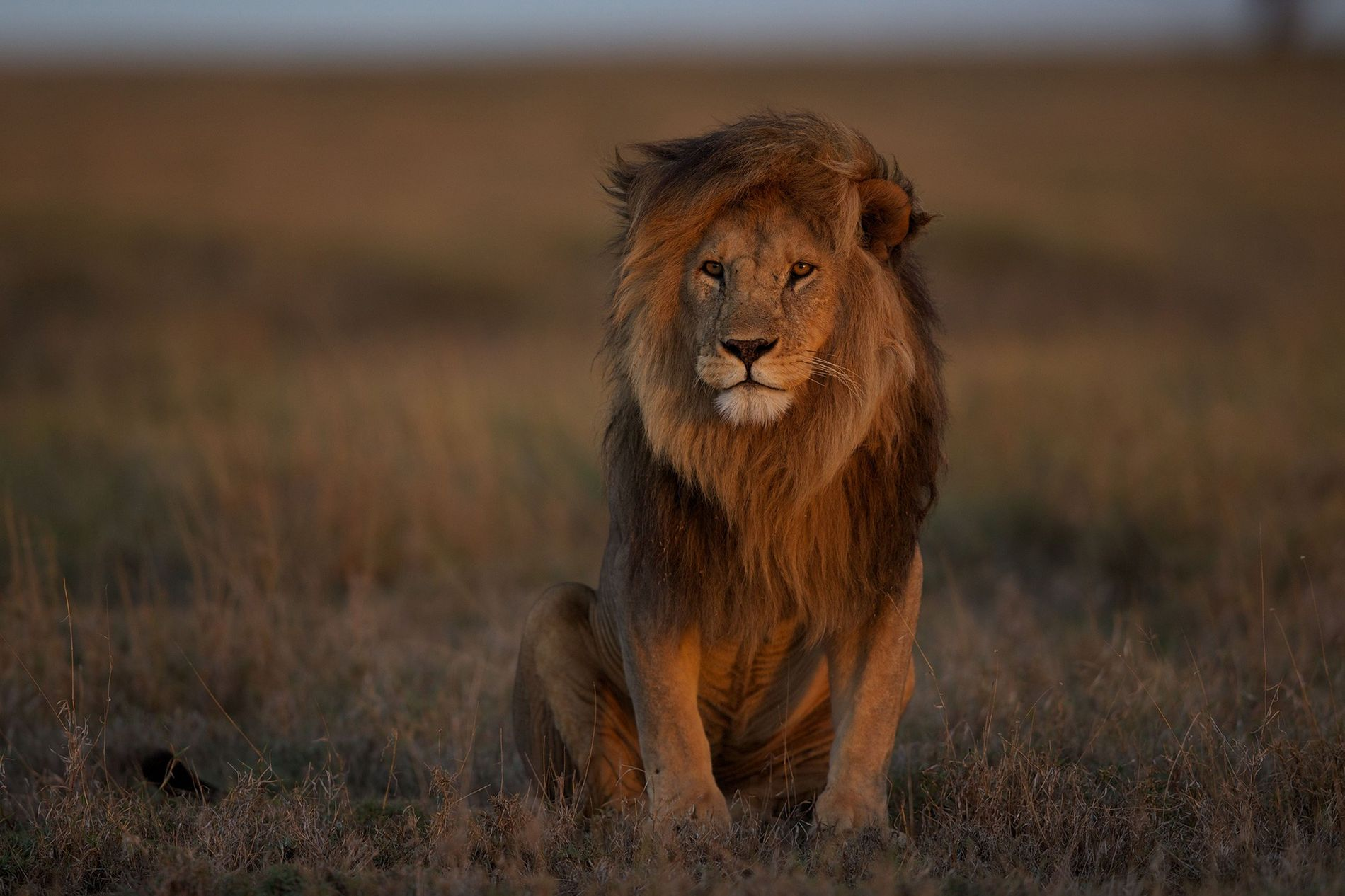 An adult male lion rests in the Serengeti. Loss of prey species, loss of habitat, and ...