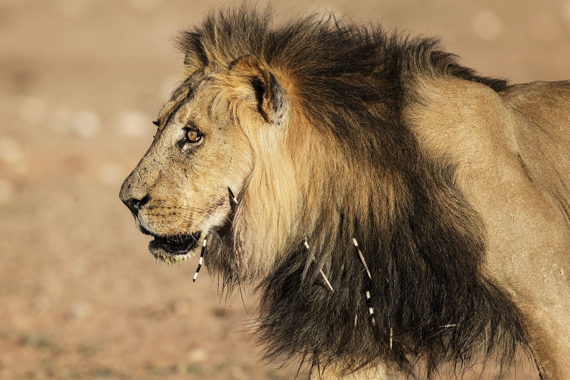 A lion with porcupine quills stuck in his face and neck, in South Africa's Kgalagadi Transfrontier ...