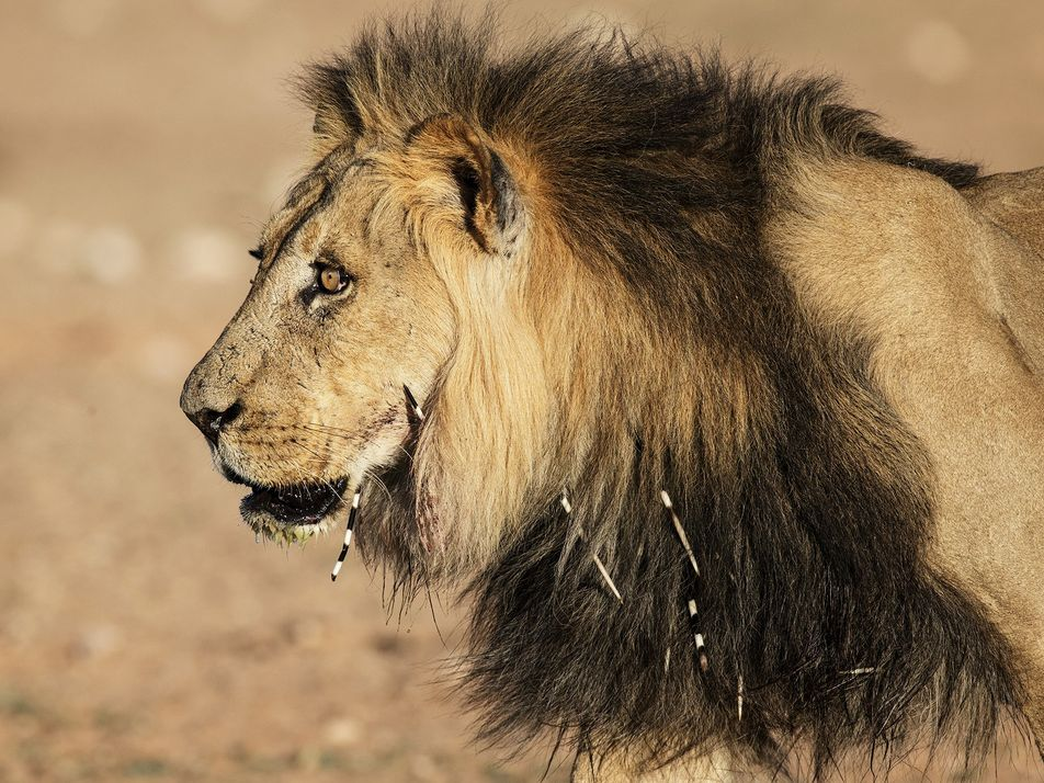 When lions attack porcupines, humans suffer unexpected consequences