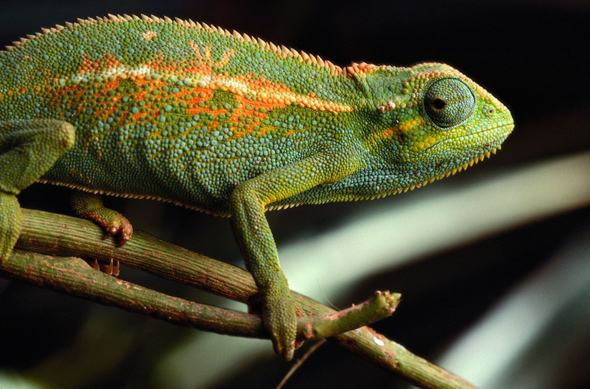 Masters of disguise, chameleons were among the lizards accused of spying on Iranian nuclear facilities.