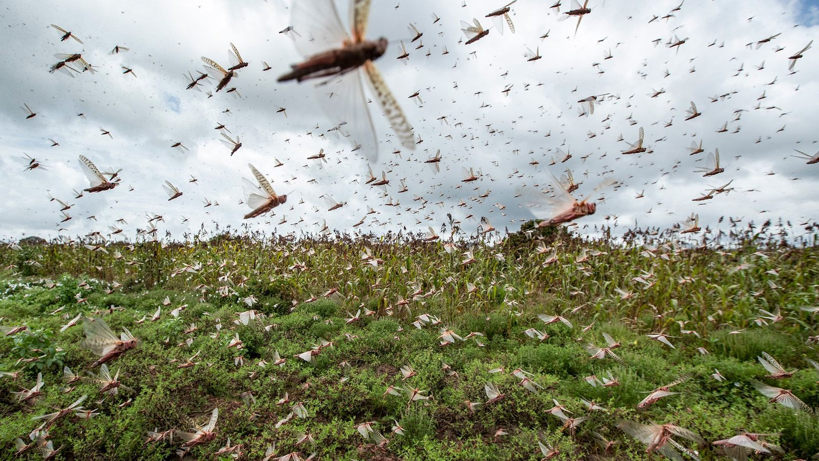 A plague of locusts has descended on East Africa. Climate change ...
