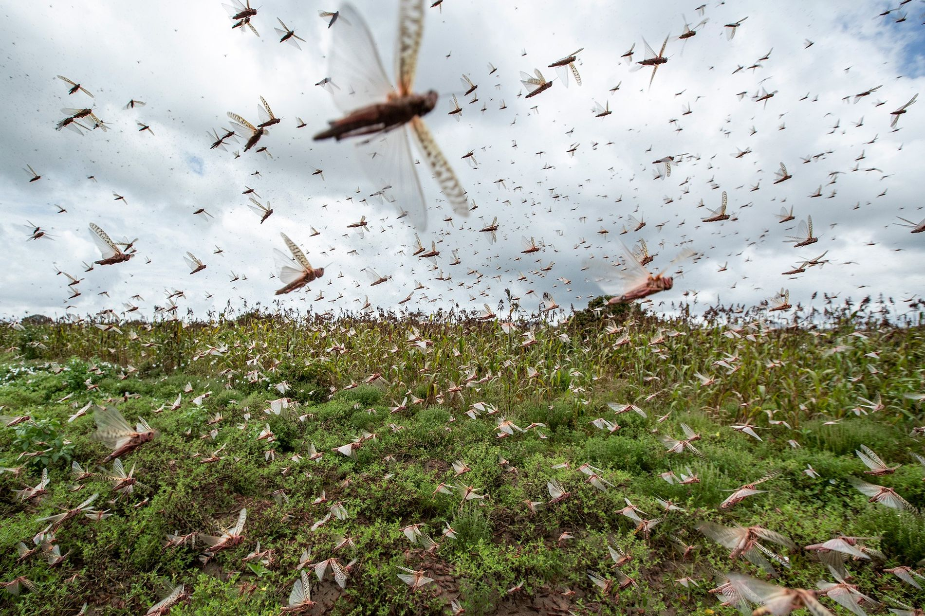 Desert locusts have swarmed into Kenya by the hundreds of millions from Somalia and Ethiopia, where ...