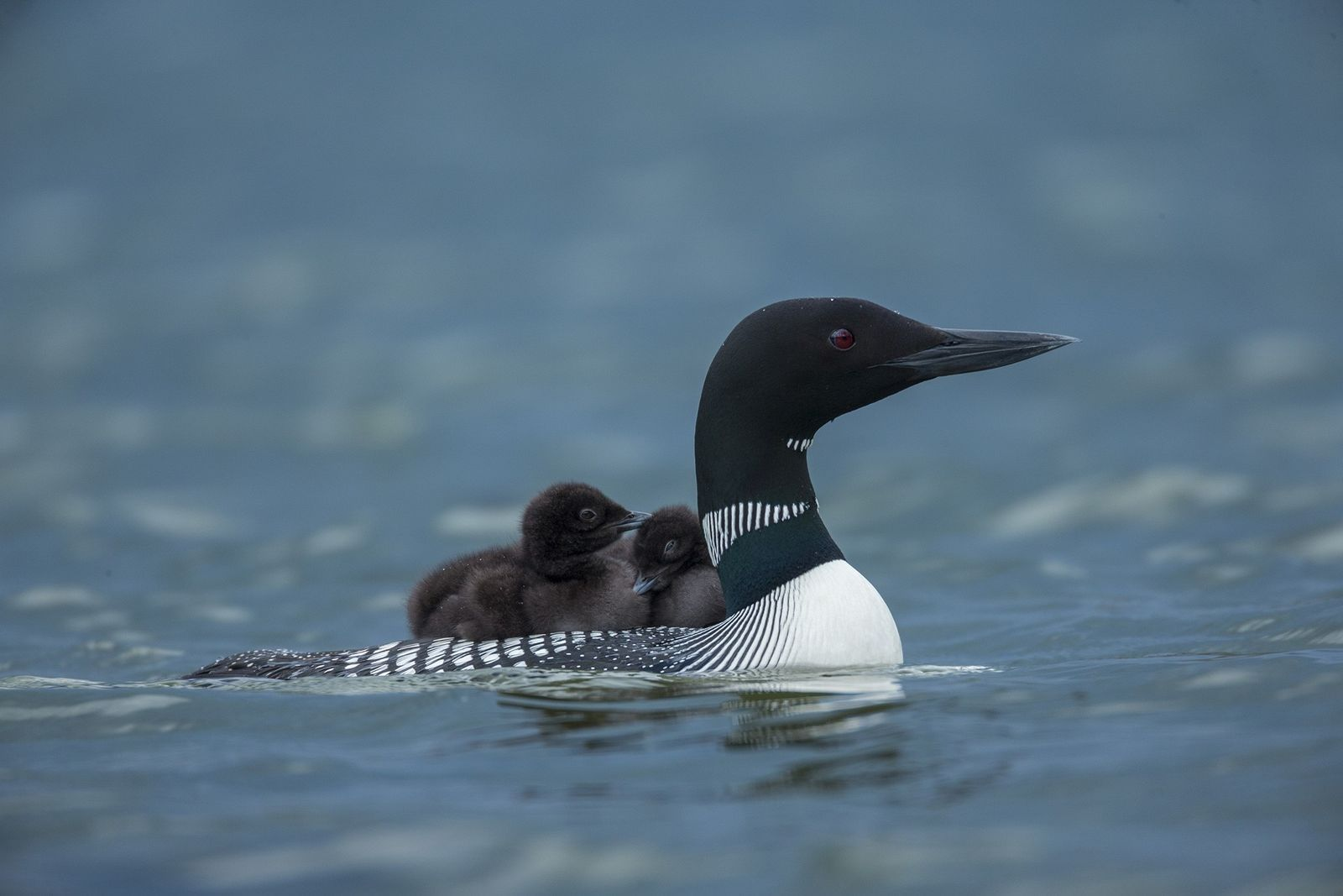 Why did a loon stab a bald eagle through the heart?