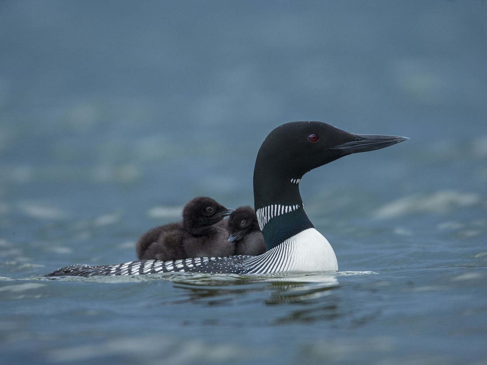 A loon and its brood. When threatened, this waterbird can become aggressive.