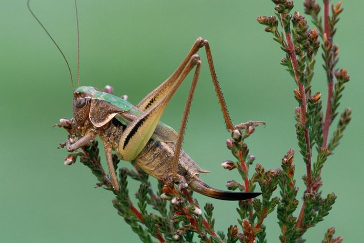 A bog bush cricket perches amid the heath in Europe, where the singing insects are thought ...
