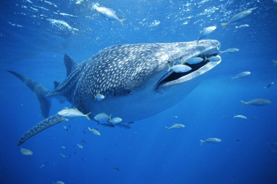 A bot developed as part of Wildbook combs through YouTube to automatically identify individual whale sharks ...