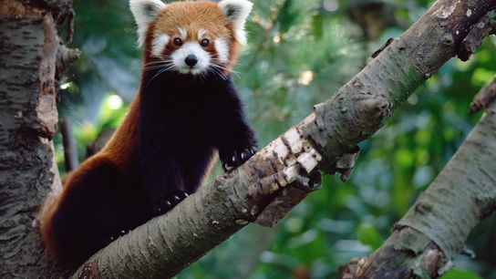 Red pandas represent 31 million years of unique evolutionary history, which is now endangered.