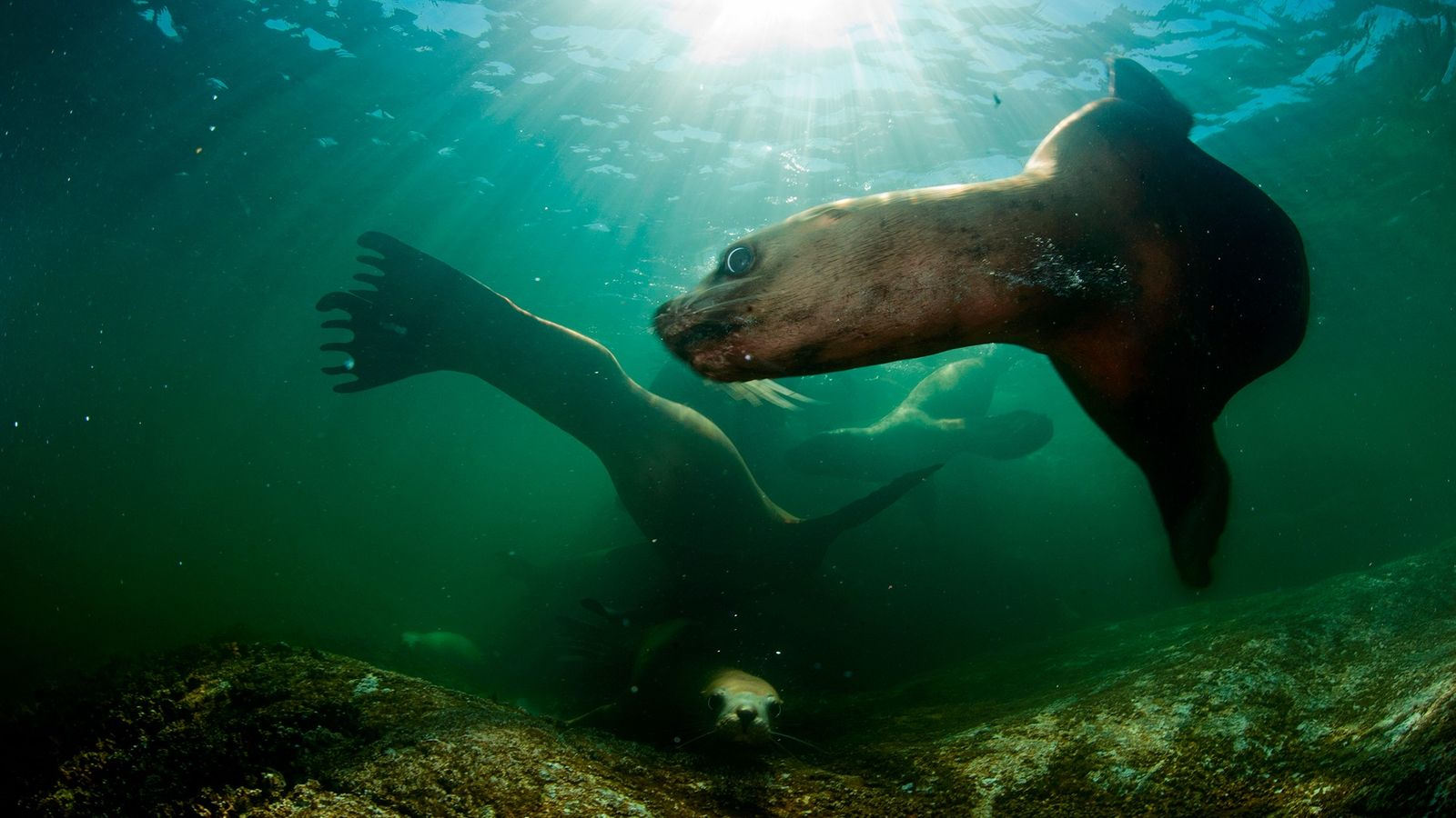 Steller sea lions swim through waters off the coast of British Columbia. Scientists are concerned that ...