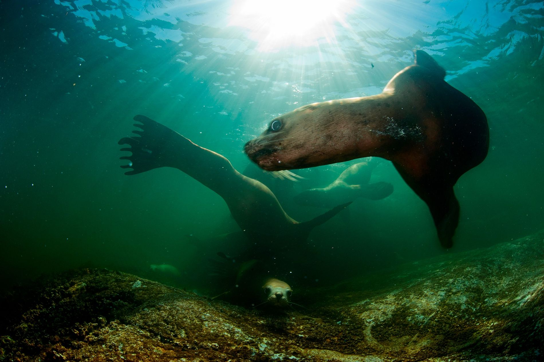 Steller sea lions swim through waters off the coast of British Columbia. Scientists are concerned that a deadly virus killing northern sea lions could spread farther south as the ice melts, infecting marine mammals off the coast of California.