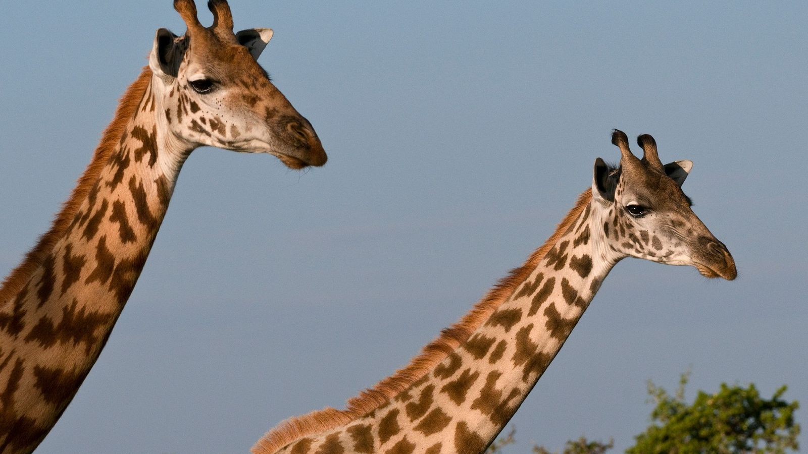 """Given that the Masai is one of the largest subspecies of giraffes, they're the """"quintessential"""" animal ..."""