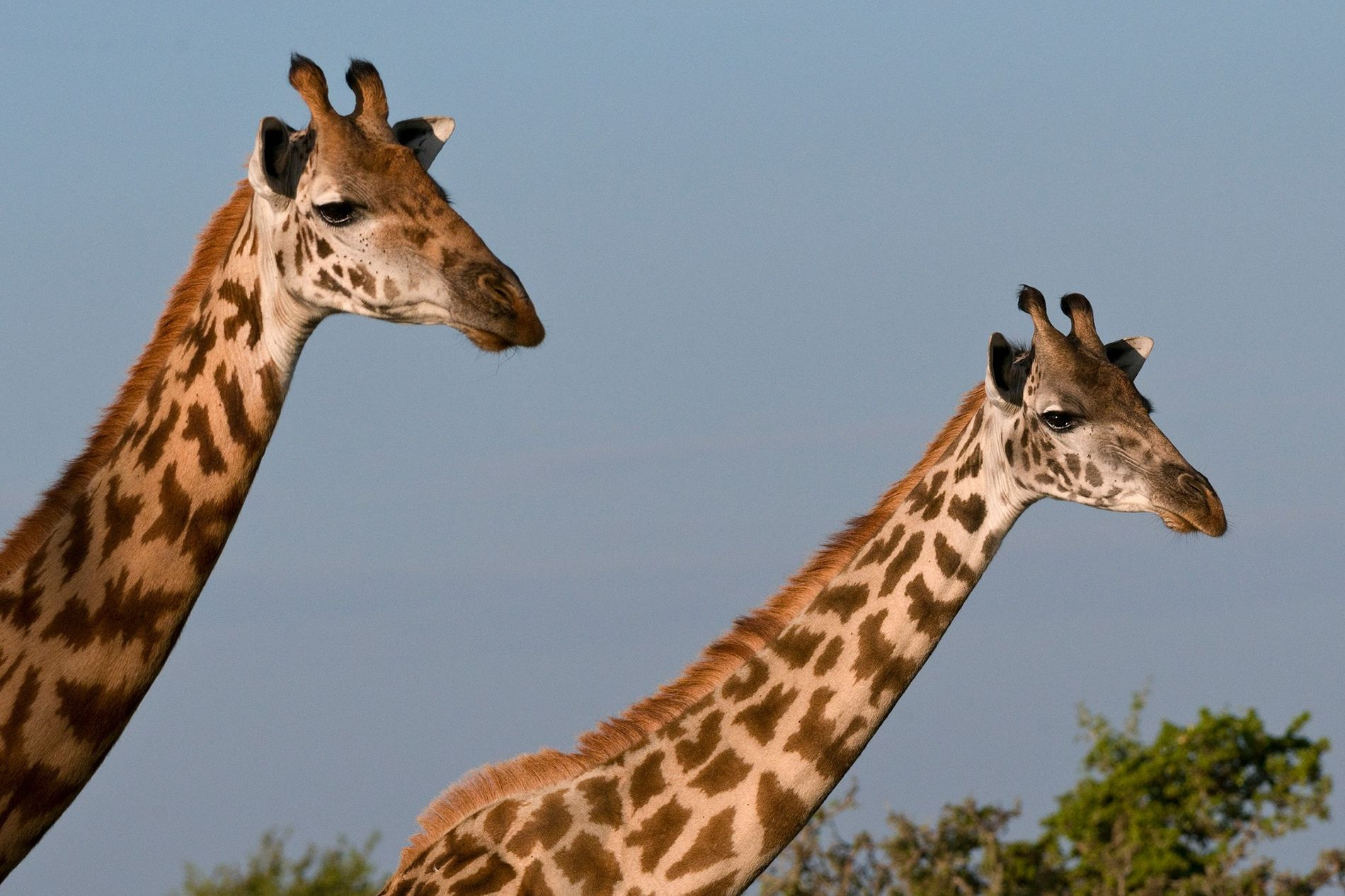 "Given that the Masai is one of the largest subspecies of giraffes, they're the ""quintessential"" animal ..."