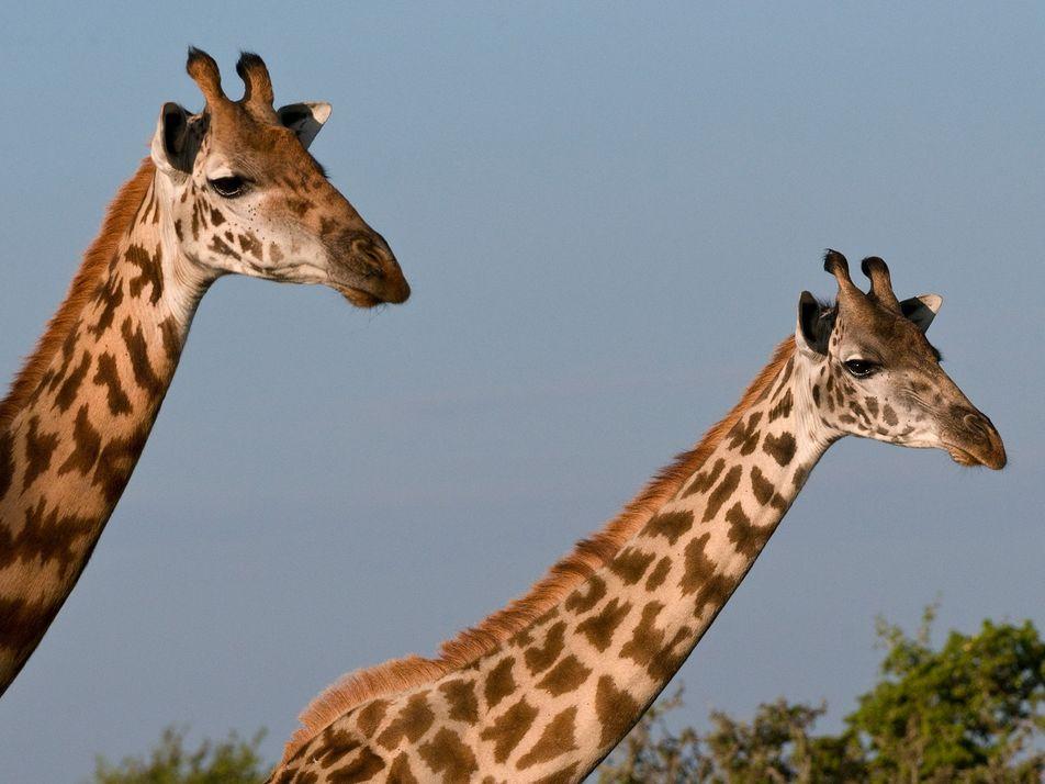 Masai giraffes declared endangered