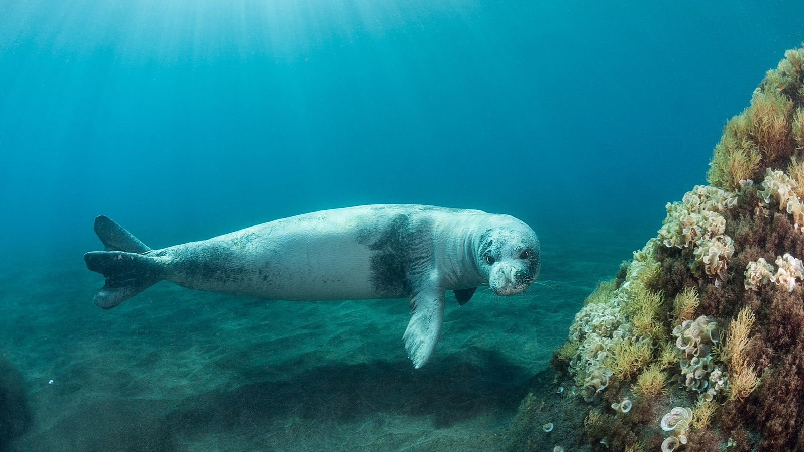 An adult male Mediterranean monk seal swims through a national park in Madeira, which is home ...