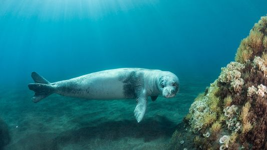 World's rarest seal finds refuge on notorious prison island