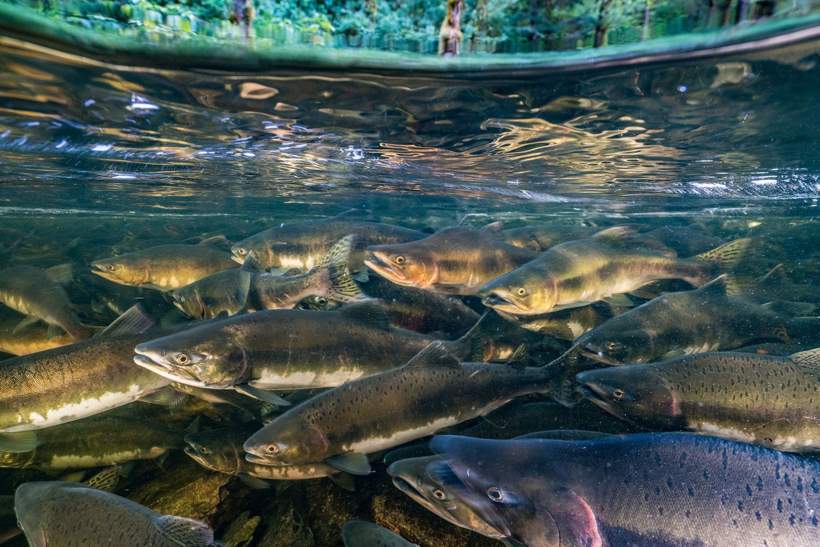 Many freshwater fish species have declined by 76 percent in less than 50 years