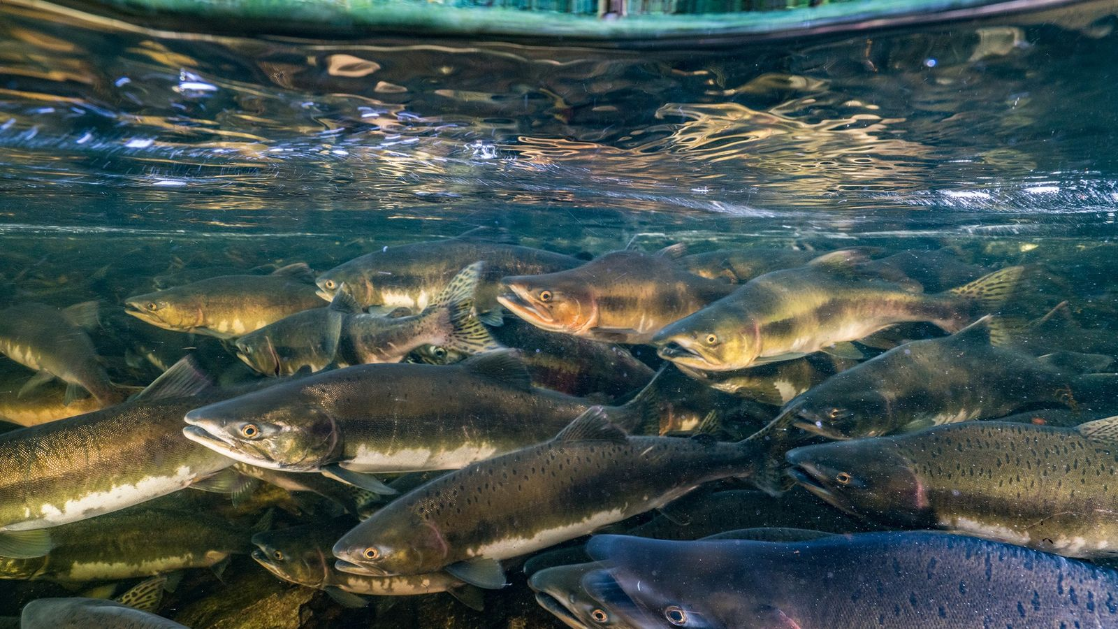 Like many migratory fish, chinook salmon are threatened by overfishing, habitat degradation, and dams that block ...