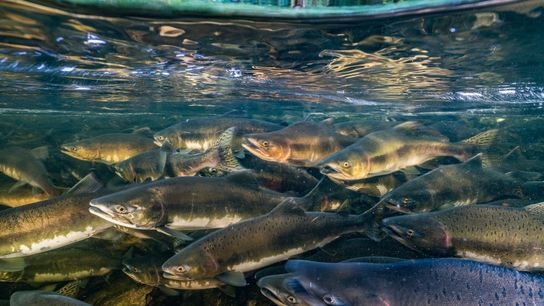 Like many migratory fish, chinook salmon are threatened by overfishing, habitat degradation, and dams that block ...