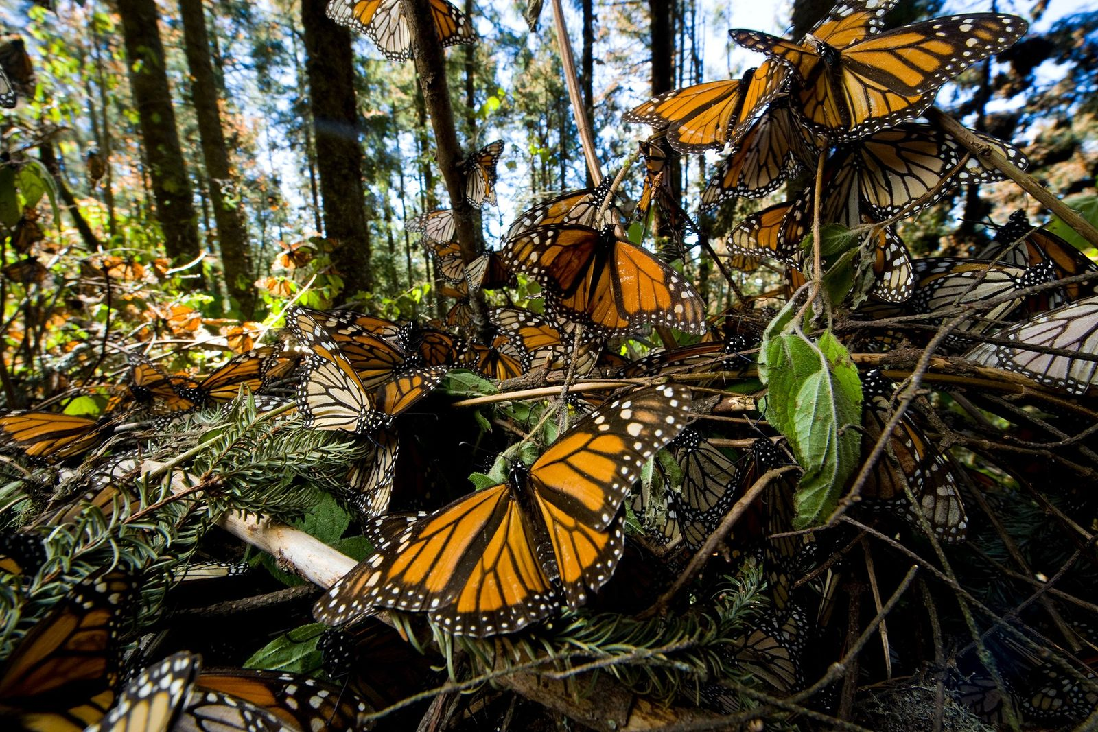 Why are we losing monarch butterflies fast?