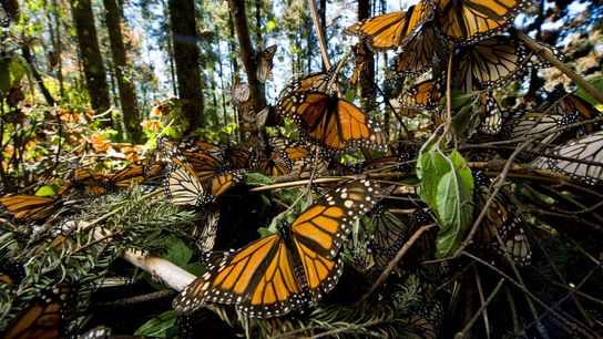 A new study finds that monarch wings are getting larger, possibly because climate change has forced ...