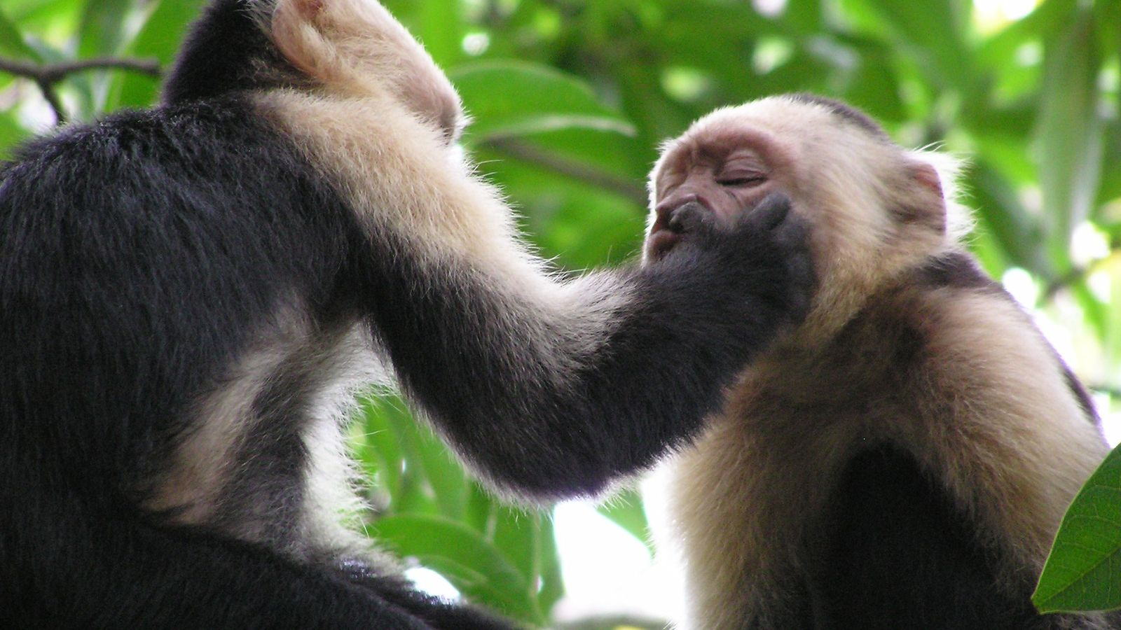 Panamanian white-faced capuchins (Cebus capucinus) perform odd behaviors such as poking each other in the nose ...