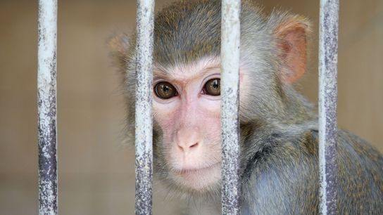 A monkey peers out behind bars at a primate testing center in Sukhumi, Georgia.