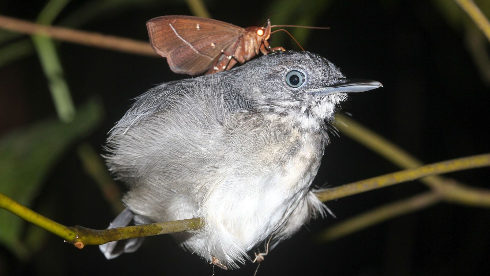 A biologist spotted this moth ('Gorgone macarea') sitting on the neck of a black-chinned antbird in ...