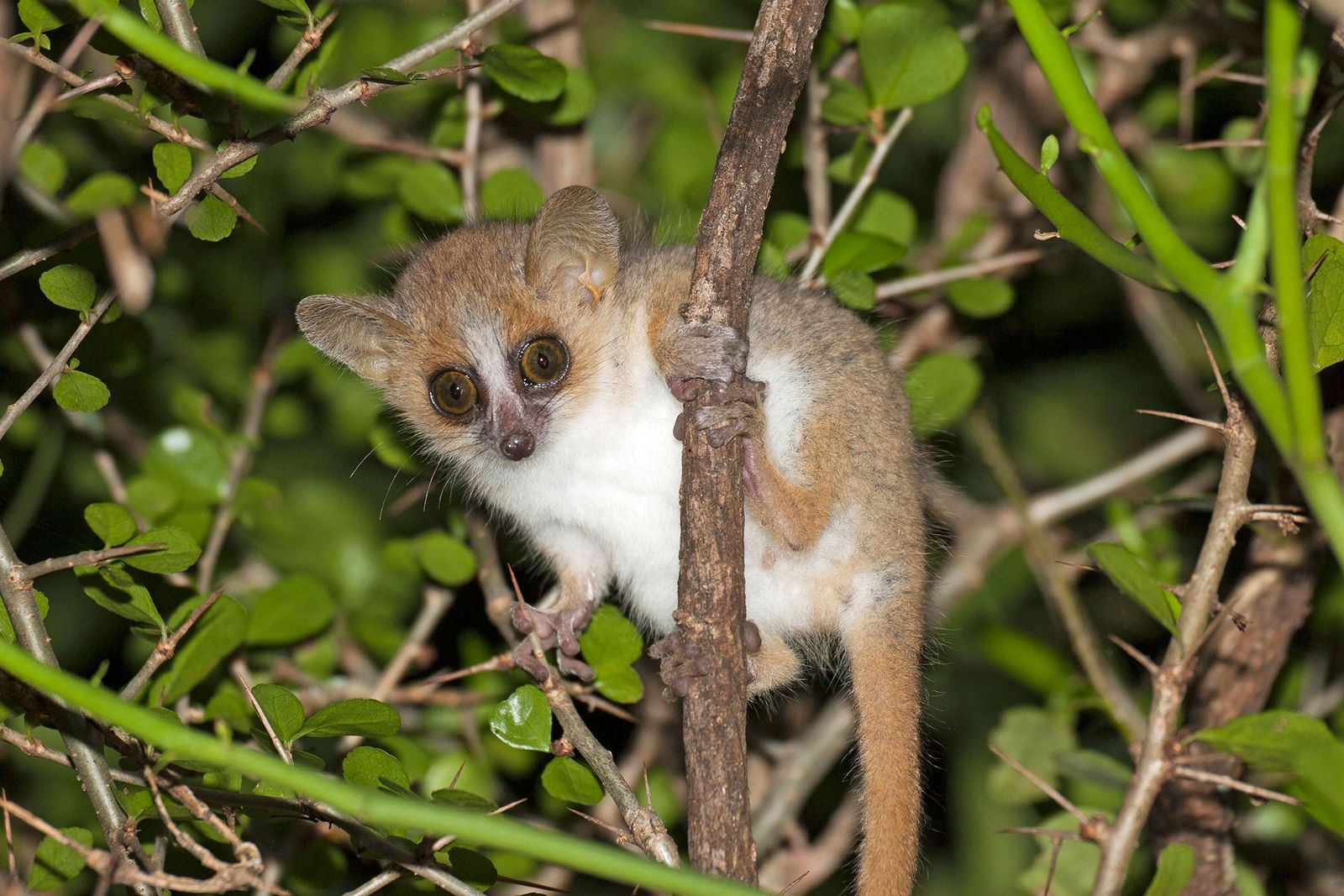 The Surprising Reason Tiny Lemurs 'Grow' Their Own Gardens