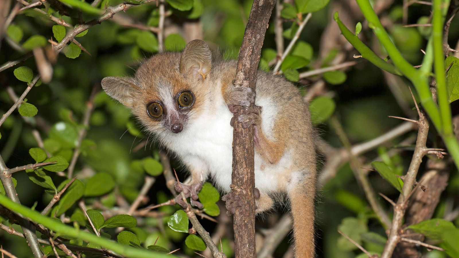 A reddish grey mouse lemur poses in a tree in Madagascar's Berenty Reserve.