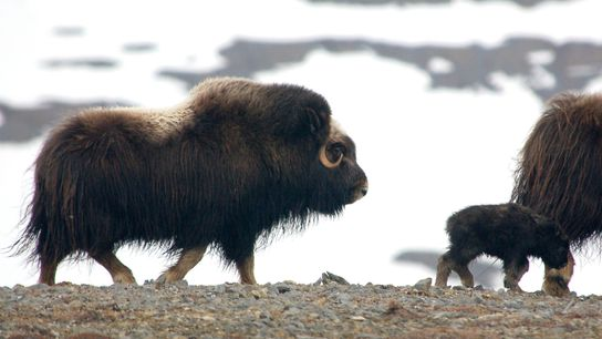 Muskoxen don't migrate long distances, the way caribou do, so they are susceptible to dramatic weather ...
