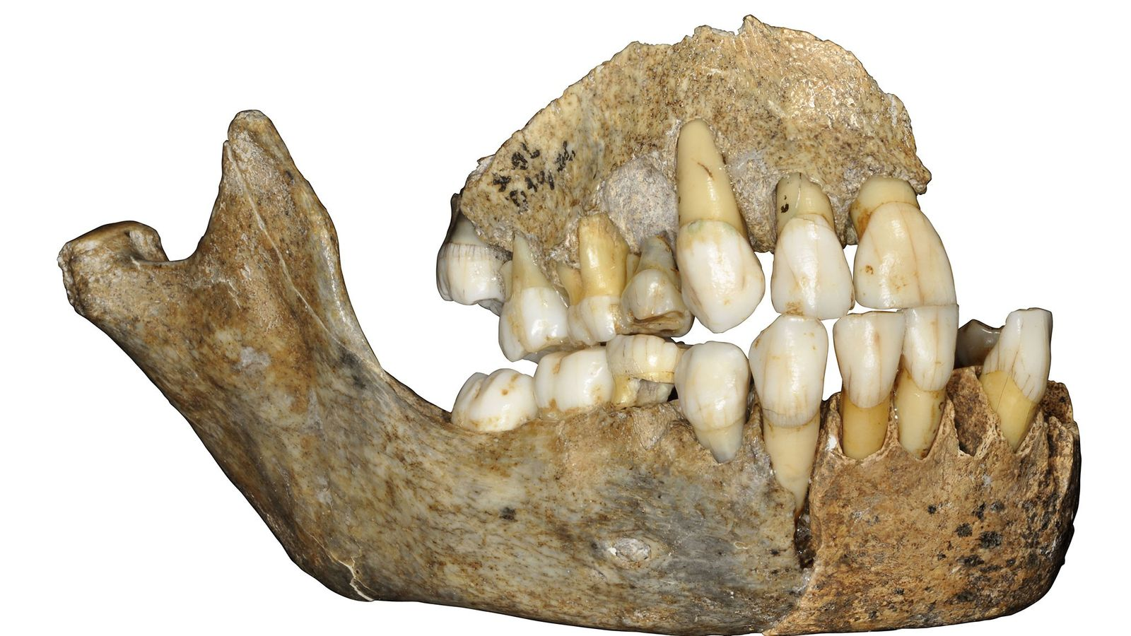 DNA pulled from this Neanderthal jawbone found in Belgium revealed fresh details about when these ancient ...