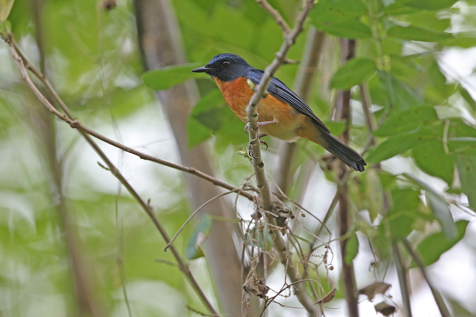 The Togian jungle flycatcher is a new subspecies of bird found on Batudaka, which is part ...