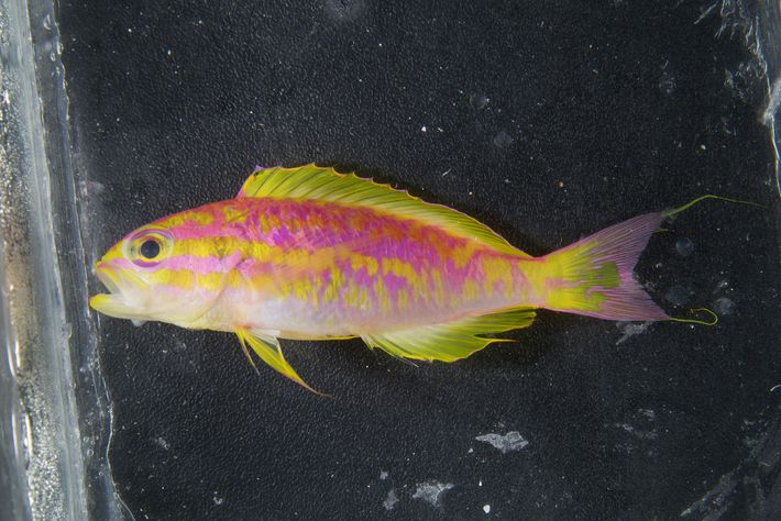 A male 'Tosanoides aphrodite' shortly after its collection from Saint Paul's Rocks, Brazil.