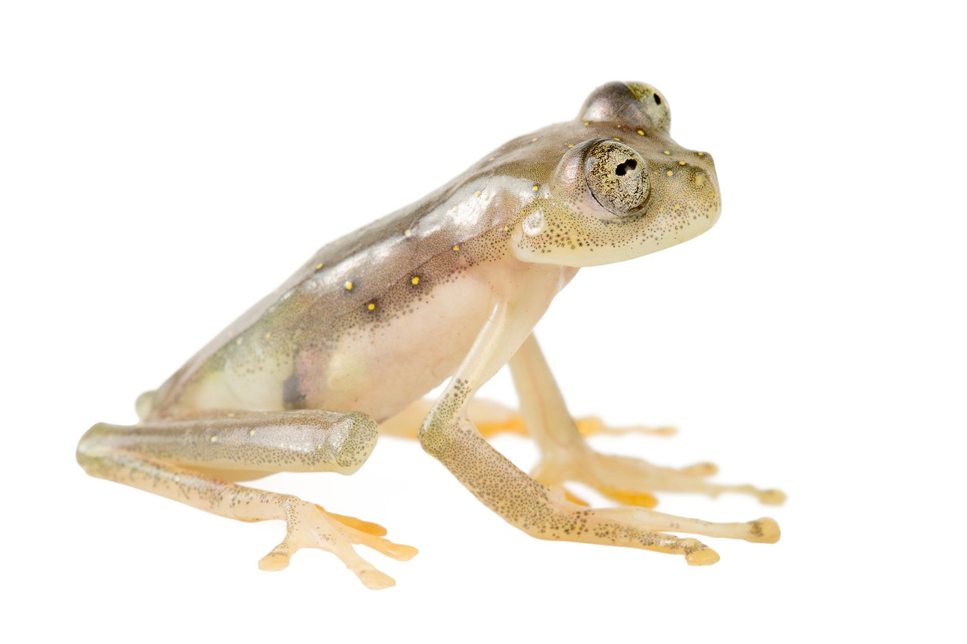 The Manduriacu glass frog (Nymphargus manduriacu) lives in a reserve in northern Ecuador and is threatened ...