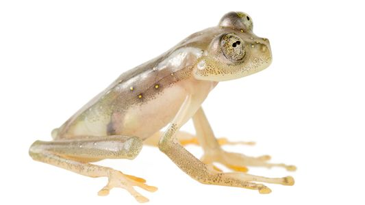 Corruption, gold mining threaten a new see-through glass frog