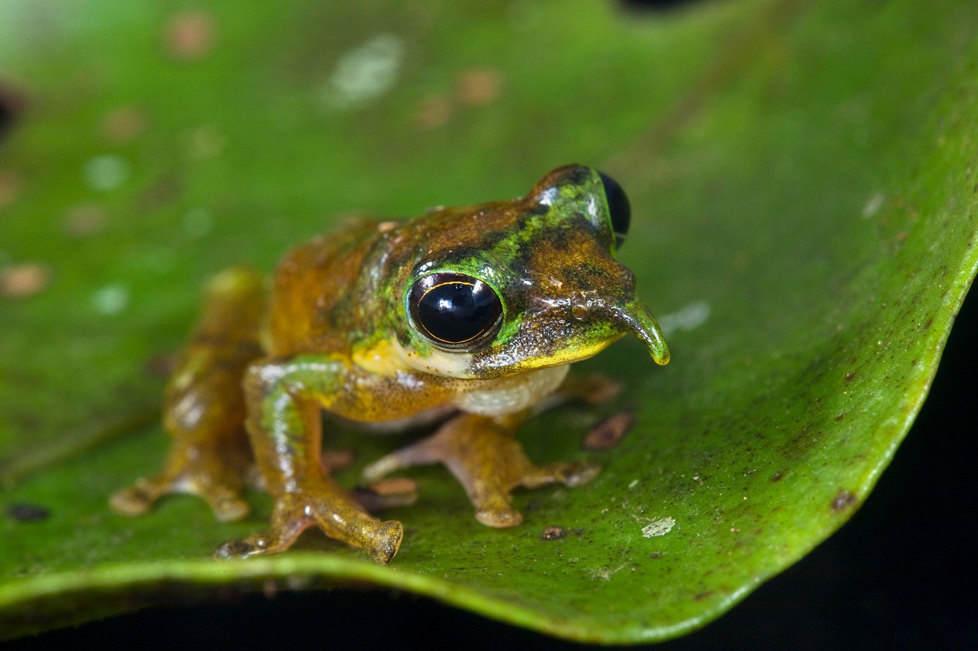 The northern Pinocchio frog, Litoria pinocchio, sits on a leaf in Indonesia's Foja Mountains.