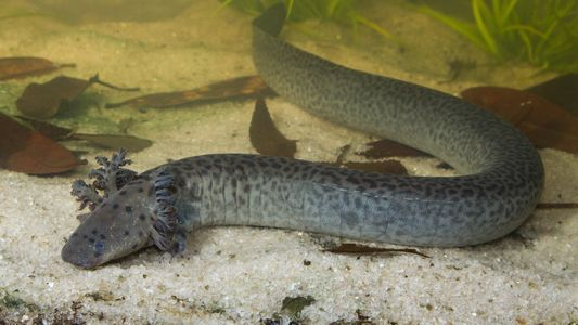 New species of giant salamander discovered in Florida