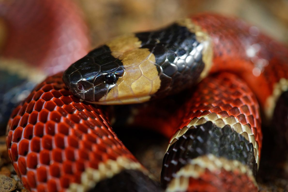 New snake species discovered in another snake's belly