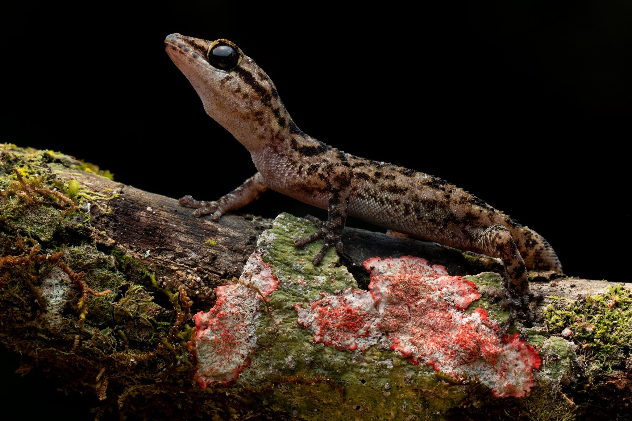 New leaf-toed geckos found living on remote volcano