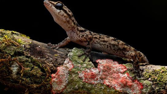 Phyllodactylus andysabini's entire habitat is less than 100 square miles on a single volcano.