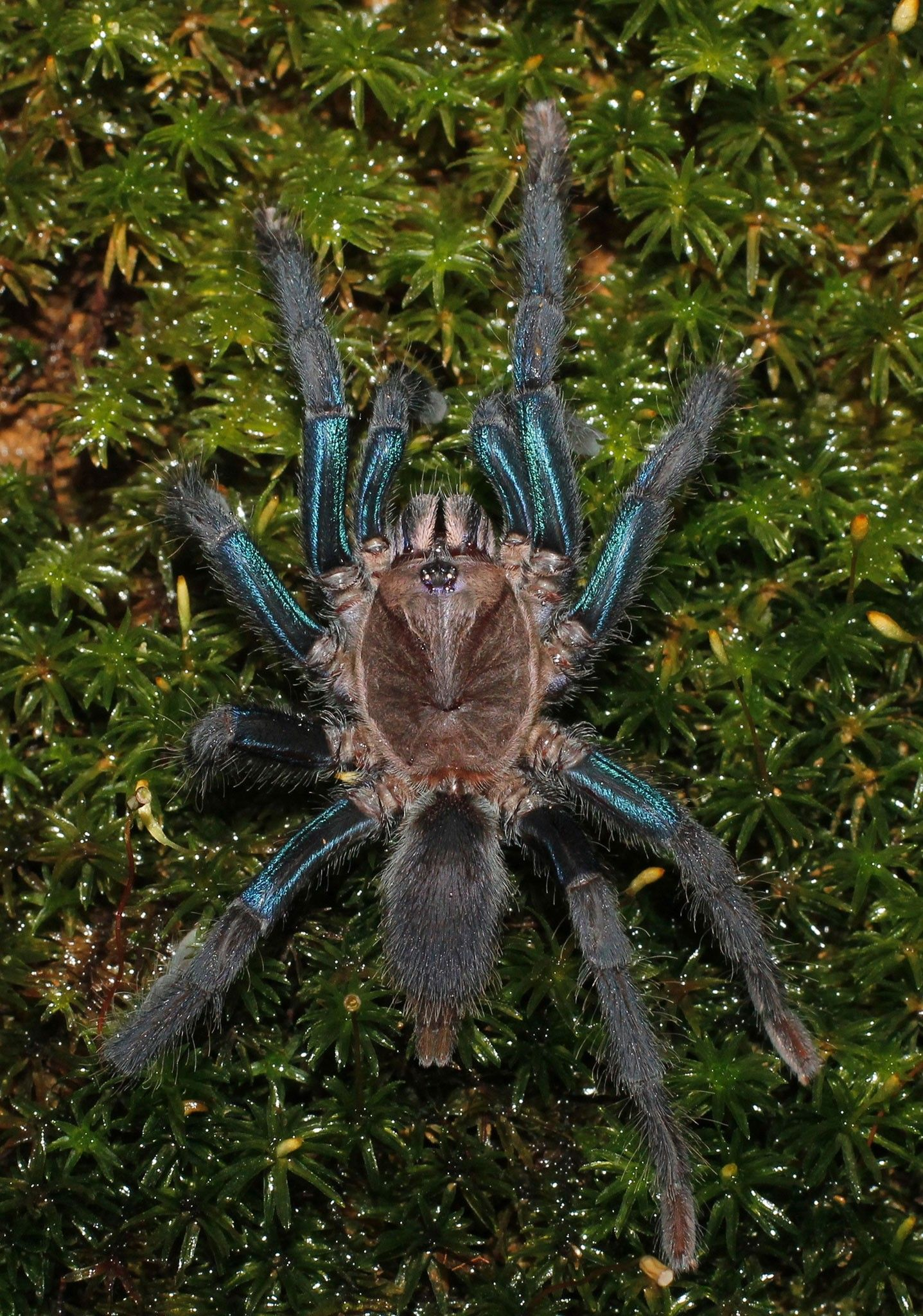 Shimmery blue tarantula discovered | National Geographic