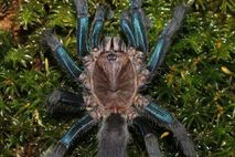 Females of the newfound species have bright blue legs, while males are a mossy brown.