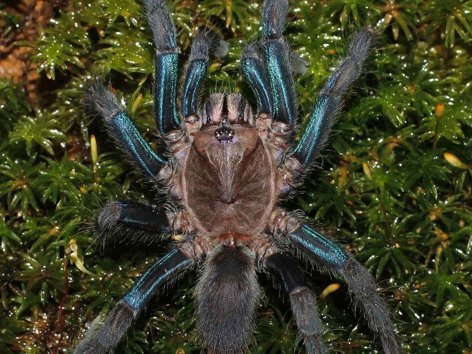 Shimmery blue tarantula discovered