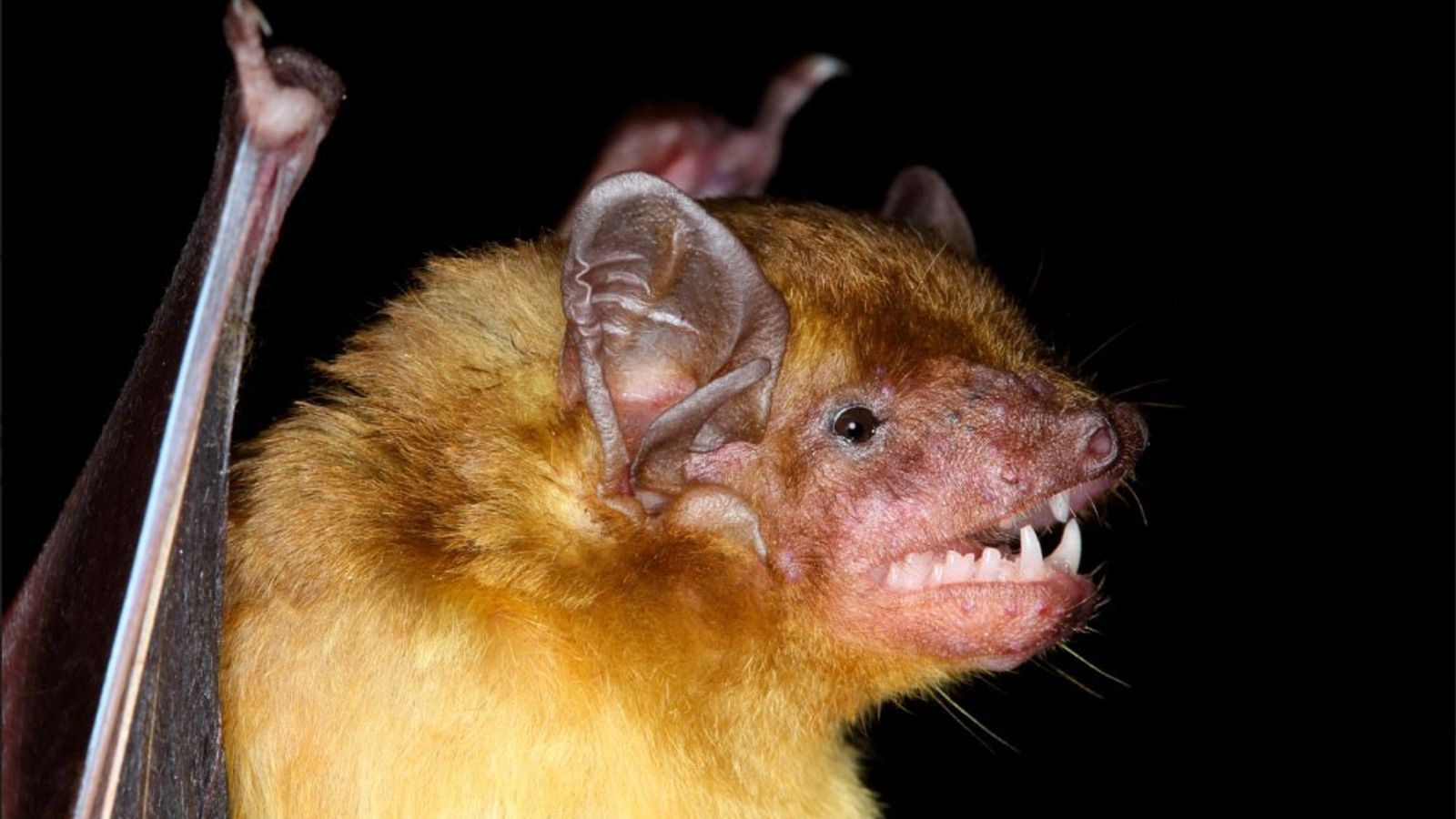 The yellow house bat (pictured) is one of 110 bat species native to Kenya.