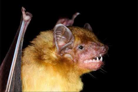 Two Yellow Bat Species Found Hidden in Plain Sight