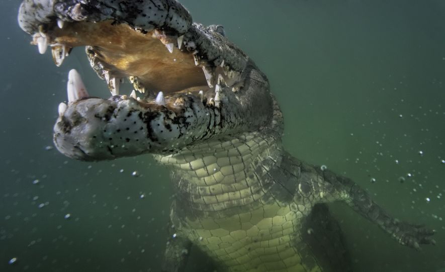 A curious Nile crocodile examines a remote camera in Kenya's Lake Turkana.